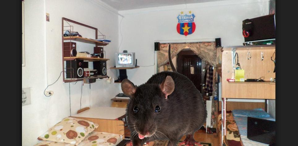 Șobolan din Regie, revoltat că a nimerit în cameră cu 4 teleormăneni deși a dat șpagă!