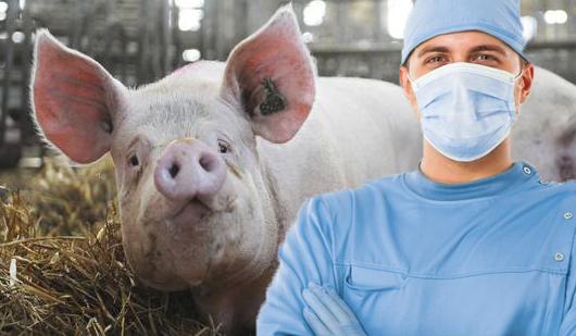 Un chirurg refuzăsă-și taie porcul până când acesta nu îi dă șpagă!