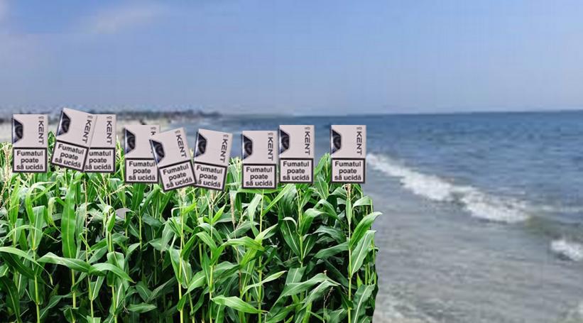 Mamaia: Chiștoacele din nisipau încolțit și pe plajă a aparut un lan de Kent!