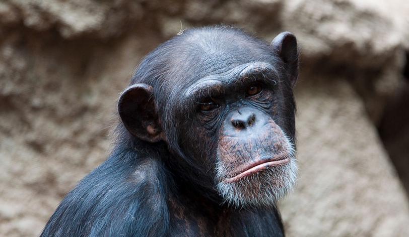 Cimpanzeul de la Zoo Băneasa a intrat în depresie după ce Dragnea l-a sărit și ultima remaniere