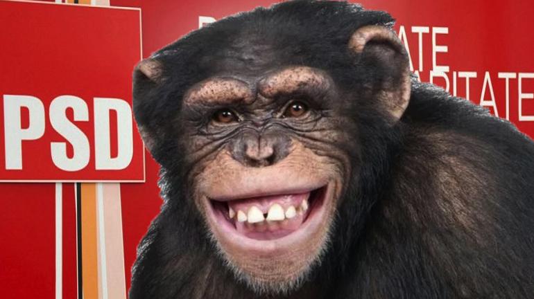 Un cimpanzeu evadat de la Zoo s-a înscris în PSD și urmează să intre în direct la Gâdea!