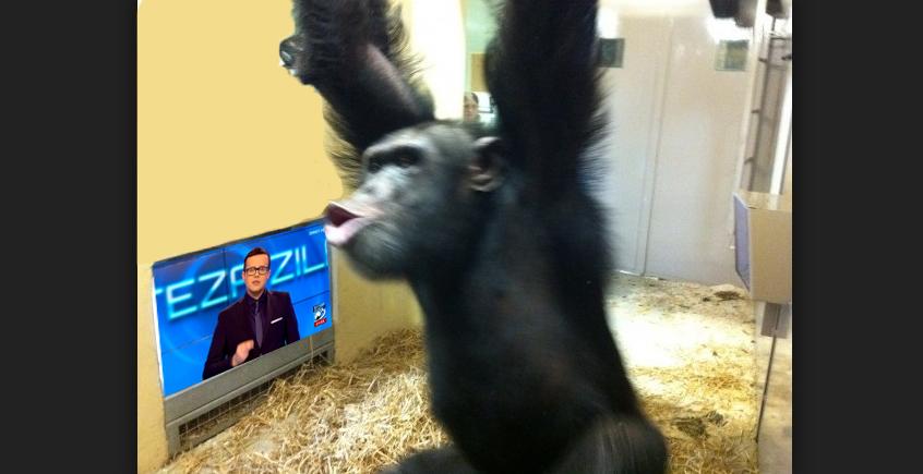 Un cimpanzeu care s-a uitat la Antena3 s-a tâmpit brusc, pierzându-și capacitateade a folosi unelte!