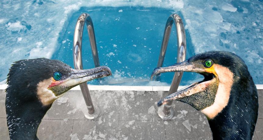 Cormoranii protestează că le-a înghețat apa din piscine!