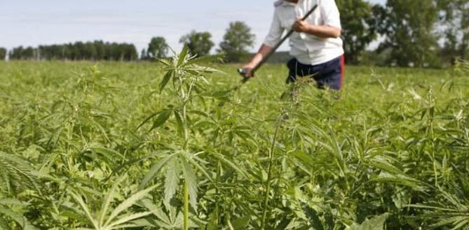 13 lucruri mai puțin cunoscute despre marijuana