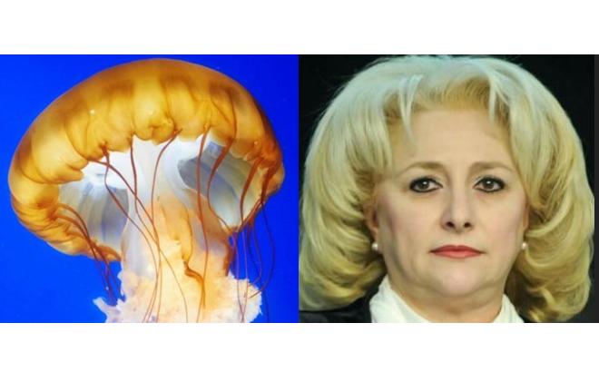 Veorica se trage din meduză: nici meduza nu are creier!