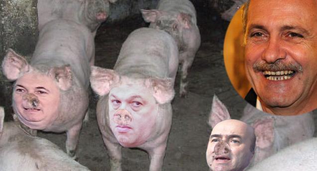 Porcii de la ferma lui Dragnea au scăpat de pestă, dar au făcut ciumă roșie!