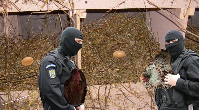 Milioane de găini ridicate de mascați de pe cuibare pentru evaziune fiscală!