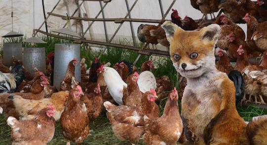 Câteva găini au omorât o vulpe care intrase în coteț. Vă dați seama câți steroizi se bagă în găini?