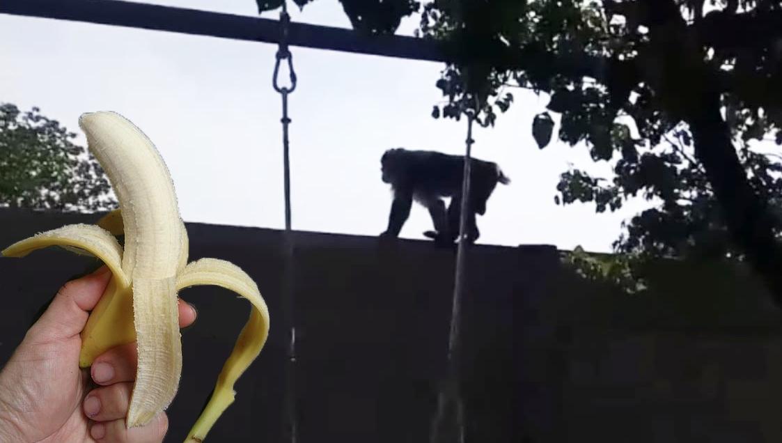 Maimuța care a scăpat prin Bucureşti a fost convinsă cu o banană să se întoarcă în conducerea PSD!