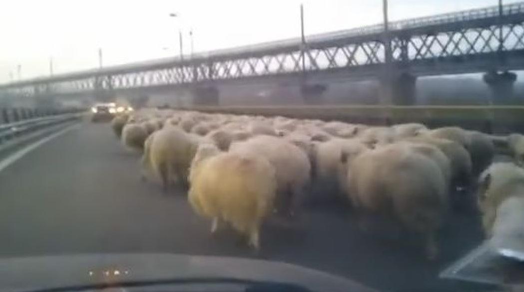 România va construi autostrăzi cu bandă specială pentru oi!