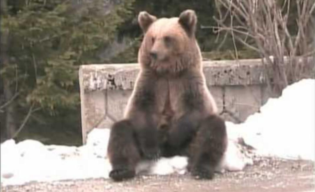 Urșii din Brașov cer să fie relocați în apartamentele neîncălzite din București pentru hibernare!