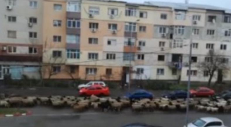 Turmă de oi filmată în centrul Alexandrei. S-au întors ministrele acasă!