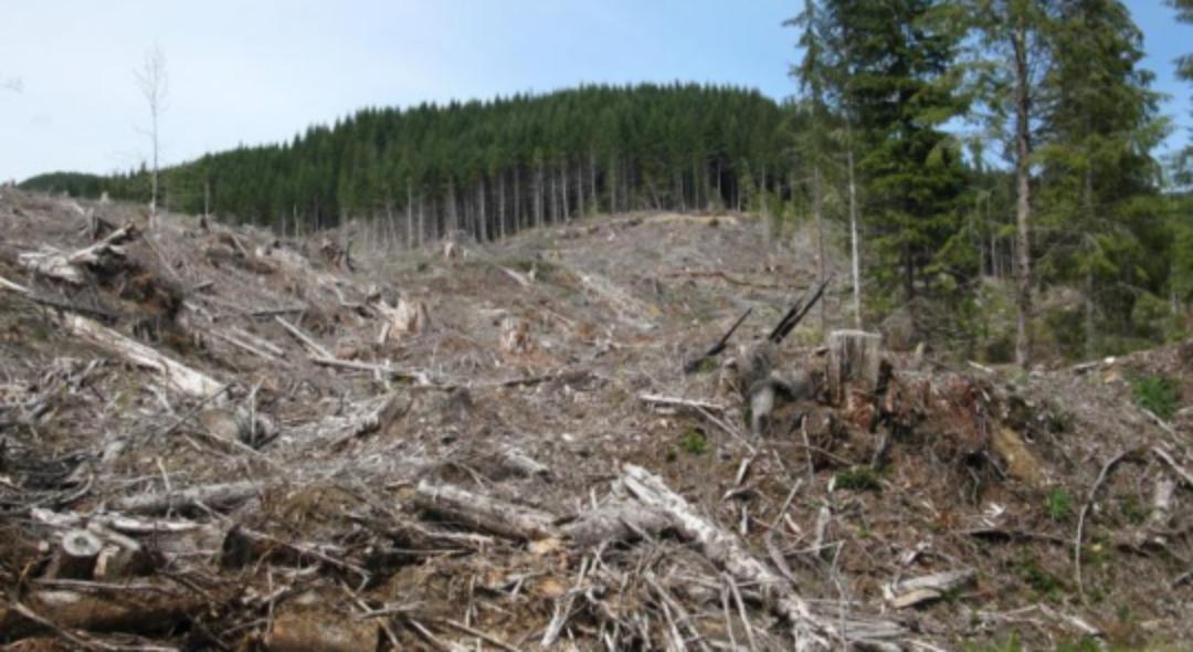 20 de hectare de pădure doborâte de Covid-19 la Suceava!