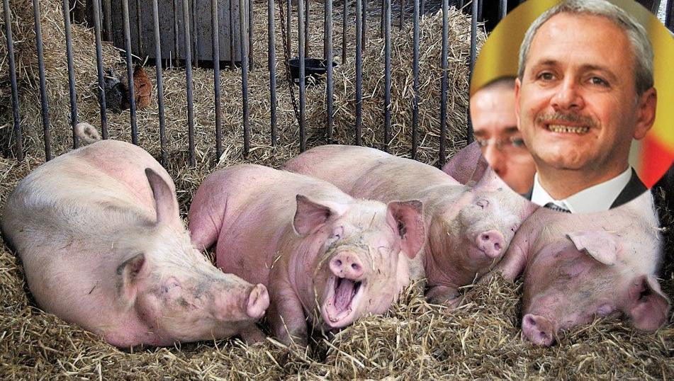 Porcii de la ferma lui Dragnea trăiesc mai bine decât 99% dintre teleormăneni!