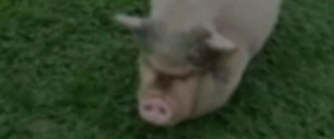 Porcii de la ferma lui Dragnea se revoltă împotriva DNA-ului!