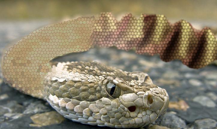 Șarpele cu clopoței de la Zoo s-a transformat în șarpe cu acordeon după ce a înghițit un manelist!
