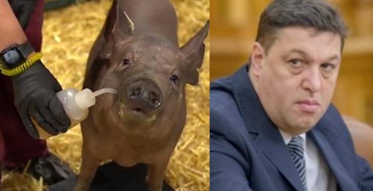 Elon Musk a prezentat primul porc cu cip în cap. În sfârsit, o nouă şansă pentru Șerban Nicolae!