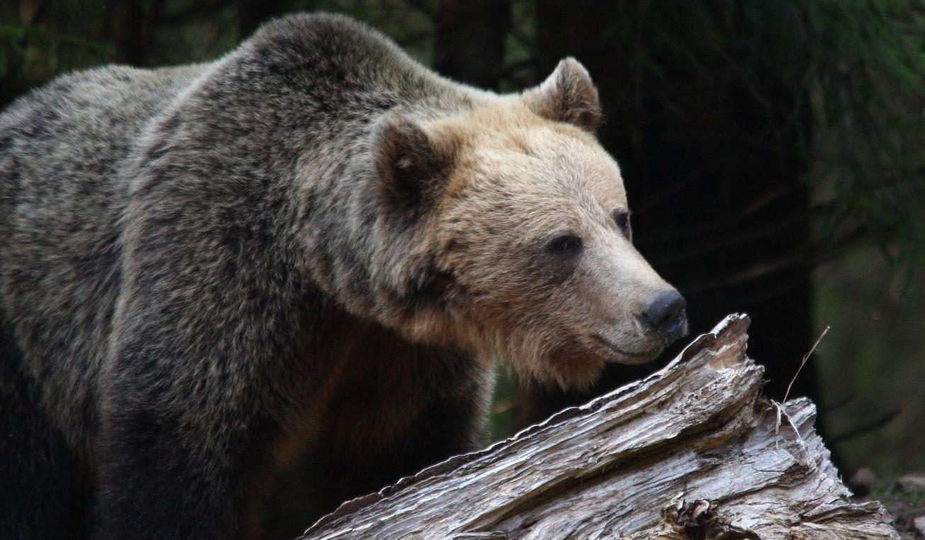 """CINE S-A UȘURAT ÎN NĂDRAGII MEI? (sau despre ursul """"rău"""" și cercetătorul silvic ignorant)"""
