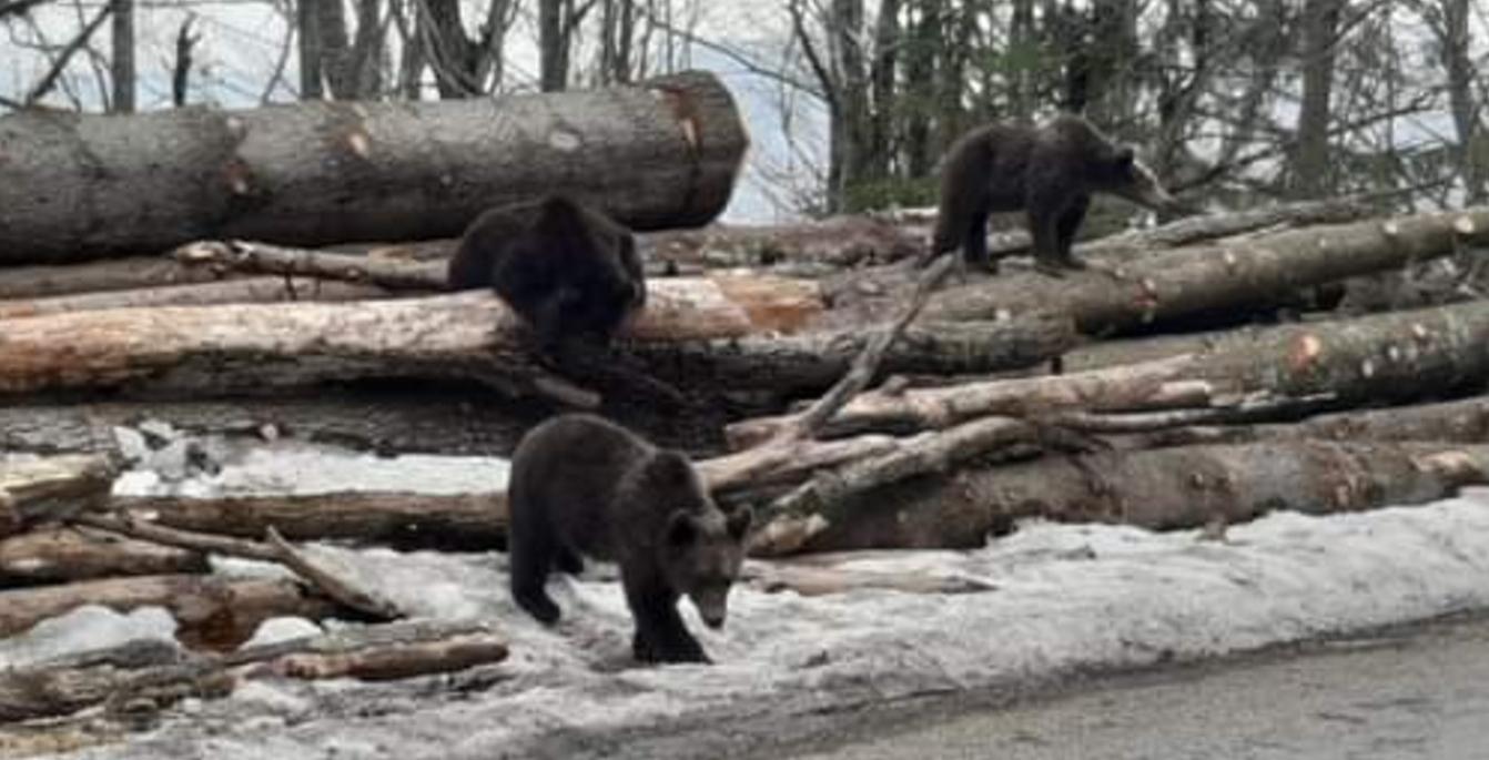 Sinaia. Urşii îşi vizitează fosta casă, proaspăt defrişată de nişte bipezi imbecili